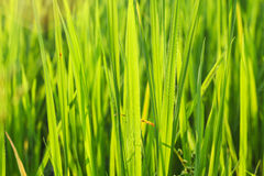 Planta de arroz Foto de archivo libre de regalías