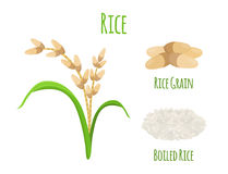 Planta de arroz, alimento do vegetariano Colheita verde, trigo do oryza Ilustração do vetor ilustração stock