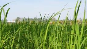 Planta de arroz ascendente cercana en los campos con luz del sol metrajes