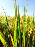 Planta de arroz com gota da névoa da manhã fotografia de stock