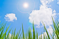 Planta de arroz contra o céu Foto de Stock Royalty Free