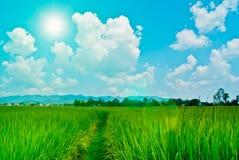 Planta de arroz contra o céu Fotografia de Stock Royalty Free