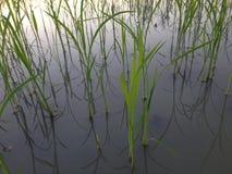Planta de arroz de la puesta del sol de la tarde en el campo de arroz del campo de maíz en diciembre Tailandia #030 Imagen de archivo