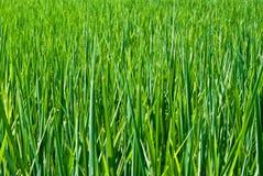Planta de arroz durante Fotografia de Stock