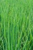 Planta de arroz durante Imagens de Stock