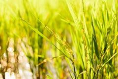 Planta de arroz en arroz con la luz de la mañana Foto de archivo libre de regalías