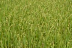 Planta de arroz en el arroz Fotos de archivo libres de regalías