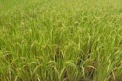 Planta de arroz en el arroz Fotografía de archivo