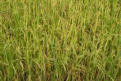 Planta de arroz en el arroz Imagen de archivo libre de regalías