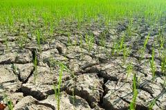 Planta de arroz en suelo de la grieta Imágenes de archivo libres de regalías