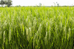 Planta de arroz Granja tailandesa fotos de archivo