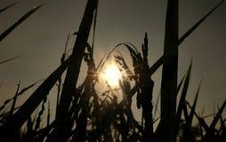 Planta de arroz que se inclina Imagen de archivo