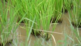 Planta de arroz verde fresca do slider da zorra na exploração agrícola do campo do arroz vídeos de arquivo