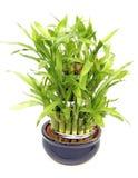 Planta de bambú Imagen de archivo libre de regalías