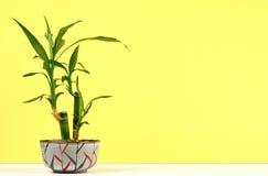 Planta de bambú Imagenes de archivo