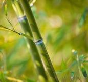 Planta de bambú Fotos de archivo
