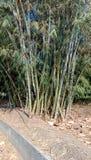 Planta de bambu foto de stock royalty free
