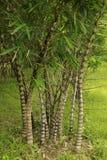 Planta de bambu Fotos de Stock Royalty Free