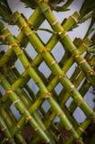Planta de bambu afortunada imagens de stock royalty free