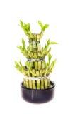 Planta de bambu afortunada Foto de Stock Royalty Free