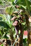 Planta de banana Foto de Stock