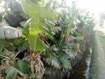 Planta de banana imagens de stock