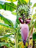 Planta de banana Foto de Stock Royalty Free