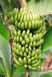 Planta de banana Imagem de Stock Royalty Free