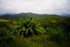 Planta de banana Fotos de Stock Royalty Free