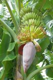 Planta de banana com flor Fotografia de Stock Royalty Free