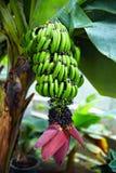 Planta de banana com frutas e flor Foto de Stock Royalty Free