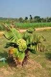 Planta de banana do anão Foto de Stock