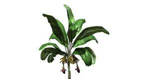 Planta de banana - isolada no fundo branco Fotos de Stock