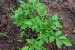 Planta de batata Fotos de Stock