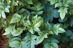 Planta de batata Fotografia de Stock Royalty Free