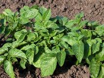 Planta de batata no jardim Fotos de Stock