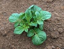 Planta de batata nova fotografia de stock