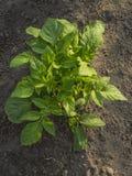 Planta de batata orgânica Fotografia de Stock