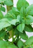 Planta de batata que cresce no jardim home na mola imagem de stock