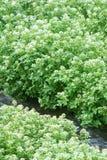Planta de Benchland Imagens de Stock Royalty Free