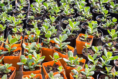 Planta de berçário no potenciômetro plástico alaranjado no jardim da casa, Tailândia Imagem de Stock Royalty Free