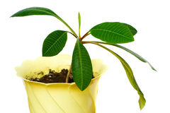 Planta de borracha Imagens de Stock Royalty Free
