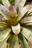 Planta de Bromeliad imagenes de archivo