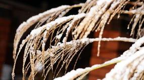Planta de Brown cubierta en nieve e hielo en la noche Fotografía de archivo