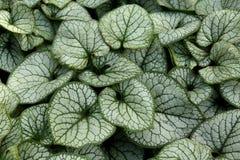 Planta de Brunnera Macrophylla Imágenes de archivo libres de regalías
