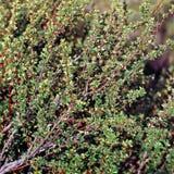 Planta de Calafate, San Carlos de Bariloche, Argentina Imagens de Stock Royalty Free