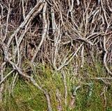 Planta de Calafate, San Carlos de Bariloche, la Argentina Foto de archivo libre de regalías