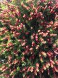Planta de Callistemon Citrinus que florece en Daytona del sur Fotos de archivo libres de regalías