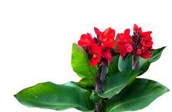 Planta de Canna Fotos de Stock