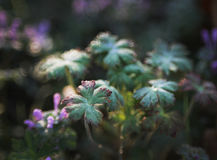 Planta de Carolina Geranium com orvalho da manhã imagem de stock